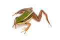 Green frog paddy on white background Royalty Free Stock Images