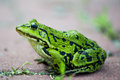 Green frog pelophylax lessonae close up to Stock Photo