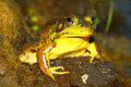 Green Frog (Rana clamitans) Stock Photography