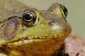Green Frog (Rana clamitans) on a log Royalty Free Stock Photo