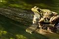 Green Frog (Rana Clamitans) Royalty Free Stock Photo