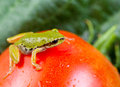 Green frog in vegetable garden horizontal photo of on single large ripe tomato with blurred out background Stock Photography
