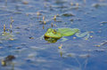 Green frog in the water Royalty Free Stock Photo