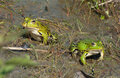 Green frogs Royalty Free Stock Photo