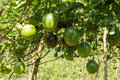 Green fruit of passion fruit and the leaves in garden Royalty Free Stock Images