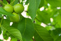 The green fruit of walnut Royalty Free Stock Photo