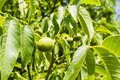 Green fruit of a walnut juglans regia l persian english Stock Images