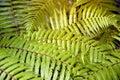 Green garden background of Fishbone Fern or Sword Fern. Royalty Free Stock Photo