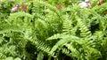 Green garden background of Fishbone Fern. Royalty Free Stock Photo