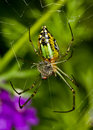 A green garden spider Royalty Free Stock Photo