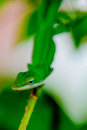 Green gecko on a branch in garden Royalty Free Stock Image
