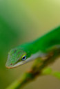 Green gecko on a branch in garden Royalty Free Stock Photos