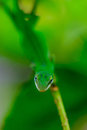 Green gecko on a branch in garden Stock Photography