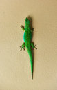 Green gecko lizard at seychelles la digue Stock Images