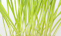 Green germinated oats fresh close up Stock Images