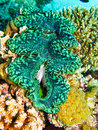 Green giant clam Royalty Free Stock Photo