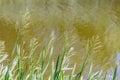 Green Glyceria Maxima Close to the Lake Royalty Free Stock Photo