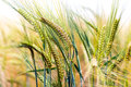 Green & Gold Crop Field