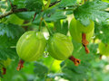 Green gooseberries Stock Photo