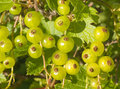 Green gooseberries natural grow up Stock Photos