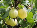 Green gooseberry Royalty Free Stock Photo