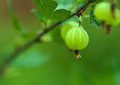Green gooseberry nature environmental agricultural ecology image berry close up growing in a vegetable garden on the bush branch Royalty Free Stock Photos