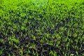 Green grain on the field Stock Photography