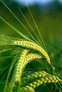 Green grain in the field Royalty Free Stock Photo