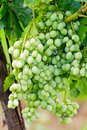 Green grape cluster Stock Photo
