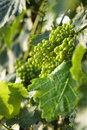Green grape clusters in Tuscany, Italy. Royalty Free Stock Photography