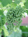 Green grape picture of a Royalty Free Stock Images