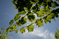 Green Grape Vines Royalty Free Stock Photography