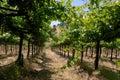 Green Grape Vines Stock Photos