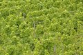 Green grape-vines Royalty Free Stock Photo