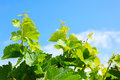 Green grape vines and leaves Royalty Free Stock Photo