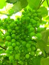 Green grapes early summer