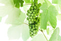 Green grapes hanging on a branches above white background Stock Image