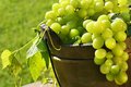 Green grapes in the sun Stock Photo