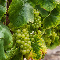 Green Grapes on the Vine at Harvest Royalty Free Stock Photo