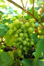 Bunch of green grapes on the vine Royalty Free Stock Photo