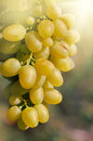 Green grapes vine under sun rays Royalty Free Stock Photos
