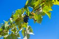 Green grapevine leaves and a bunch of grapes against blue sky Royalty Free Stock Photo