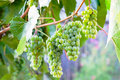 Green grapevine summer time Royalty Free Stock Photo