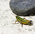Green grashopper by summer on gray stone Royalty Free Stock Photography