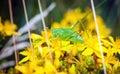 Green grashopper Royalty Free Stock Photo