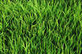 Royalty Free Stock Photos Green grass