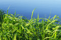 Green grass against blue water. Royalty Free Stock Photo