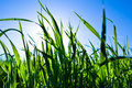 Green grass in back light with blue sky and sun Royalty Free Stock Photo