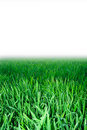 Green grass, background Royalty Free Stock Image