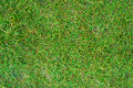 Green grass background bright curly lawn Royalty Free Stock Images
